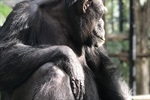 Samantha the chimp 6 months pregnant.jpg